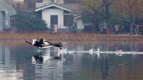 A cisne preta nada o lago ocidental de hangzhou imagens de stock royalty free