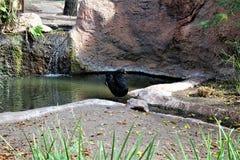 Cisne preta no jardim zoológico de Phoenix em Phoenix, o Arizona no Estados Unidos fotos de stock royalty free