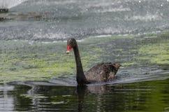 Cisne preta no lago em Gympie fotografia de stock