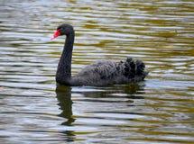 A cisne preta no lago em Londres foto de stock