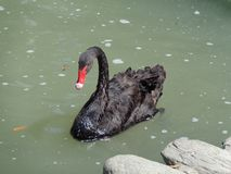Cisne preta no parque de Katerini, Grécia imagem de stock royalty free