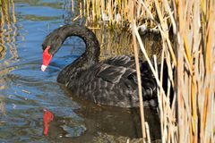 Cisne preta no rio Foto de Stock Royalty Free
