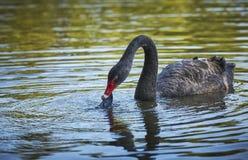 Cisne preta que come o desperdício do plástico Imagens de Stock