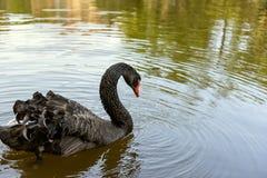 Cisne preta que flutua na água Imagens de Stock