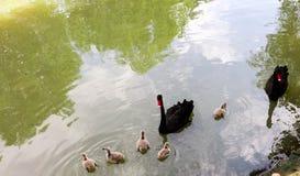Cisne preta selvagem Imagens de Stock