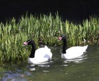 cisne Preto-necked Imagens de Stock Royalty Free