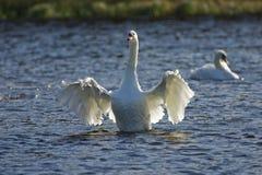 Cisne que aletea sus alas Fotos de archivo