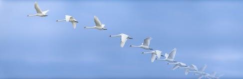Cisne que ascensão no céu Fotos de Stock