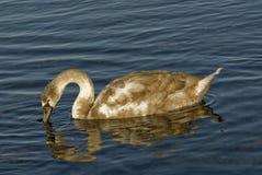 Cisne que busca la comida Fotos de archivo