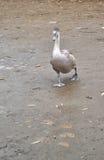 Cisne que camina Imagenes de archivo
