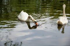 Cisne que come en un lago Fotografía de archivo libre de regalías