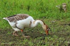 Cisne que come a grama no campo Fotografia de Stock Royalty Free