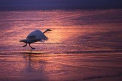 Cisne que corre no gelo, descolando ao céu imagens de stock