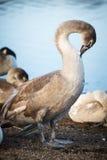 Cisne que descansa na costa em Helsínquia Imagens de Stock