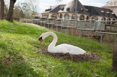 Cisne que descansa no campo Imagens de Stock