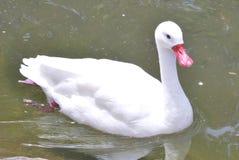 Cisne que disfruta de una nadada Fotografía de archivo