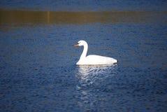 Cisne que disfruta de una nadada Foto de archivo
