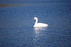 Cisne que disfruta de una nadada Imagen de archivo