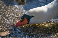 Cisne que empuja la hoja Imagen de archivo libre de regalías