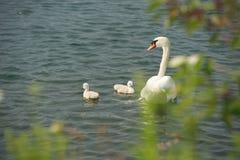 Cisne com cygnets imagens de stock royalty free