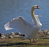Cisne que estica pela borda das águas Fotos de Stock Royalty Free