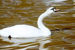 Cisne que estira el cuello fotos de archivo