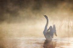 Cisne que estira sus alas en el río Avon en una mañana brumosa imagenes de archivo