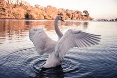 Cisne que exhibe sus alas impresionantes imágenes de archivo libres de regalías
