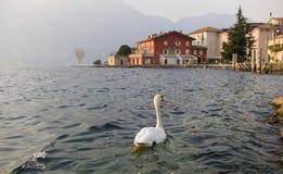 Cisne que explora el mundo Foto de archivo
