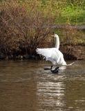 Cisne que expressa-se Imagem de Stock