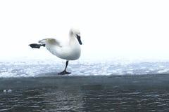 Cisne que faz O Lago das Cisnes Foto de Stock Royalty Free