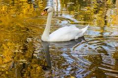 Cisne que flota en el agua el color del oro Fotografía de archivo