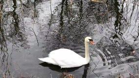 Cisne que flota en el agua tranquila metrajes