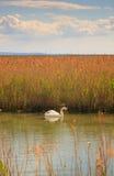 Cisne que flota en el río Fotografía de archivo