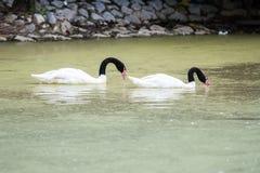 Cisne que flutua na água no nascer do sol do dia imagens de stock
