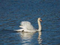 Cisne que flutua na superfície da água Fotografia de Stock Royalty Free