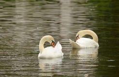 Cisne que flutua no lago Imagens de Stock