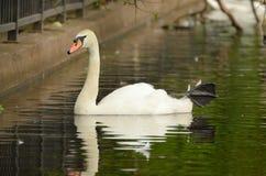 Cisne que flutua no lago Imagem de Stock
