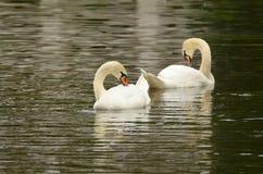 Cisne que flutua no lago Fotografia de Stock Royalty Free