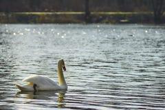 Cisne que flutua no lago Foto de Stock
