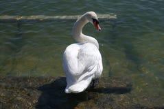 Cisne que mira detrás Imagen de archivo libre de regalías