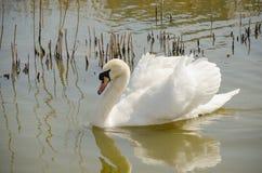 Cisne que mostra fora na frente de uma fêmea Imagem de Stock Royalty Free