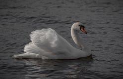Cisne que muestra apagado Imagen de archivo