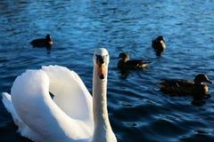 Cisne que olha a câmera Foto de Stock Royalty Free