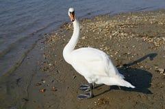 Cisne que olha o fotos de stock