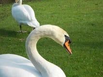 Cisne que olha o Fotografia de Stock