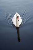Cisne que ondula el agua azul tranquila foto de archivo libre de regalías