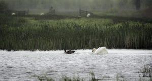 Cisne que persegue um ganso foto de stock
