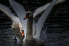 Cisne que persigue otro Imagen de archivo