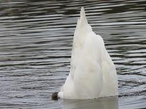 Cisne que procura o alimento foto de stock